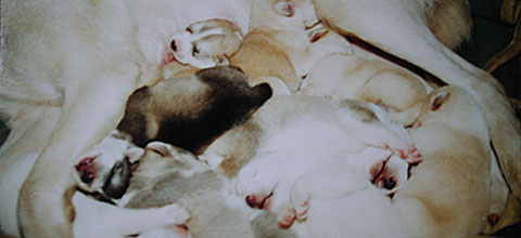 All ten sled dog puppies sleeping huddled together against their mom's belly